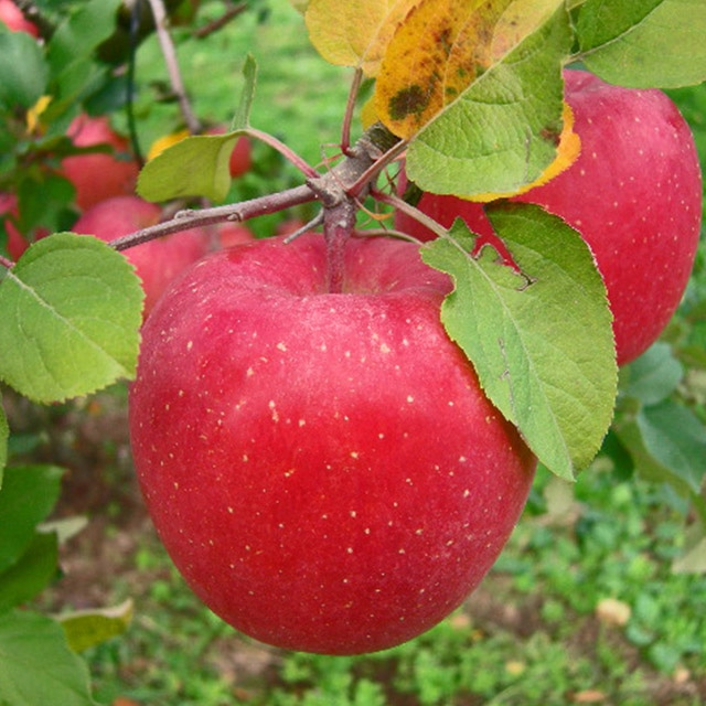 まさひろ林檎園 青森産 葉とらずサンふじ家庭用5kg 送料込