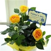 【2020父の日】父の日ギフト 花鉢 黄色バラ鉢 6月19-21日の期間でお届け フラワーギフト 送料無料 FKPP