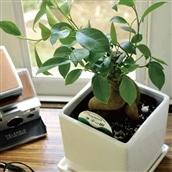 観葉植物 ガジュマル 四角陶器 送料無料