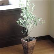 観葉植物 オリーブ6号Mサイズ かご付き 品種おまかせ 送料無料