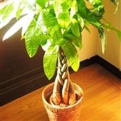 観葉植物 パキラ7号 かご付き 送料無料